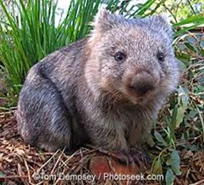 Amazing Pictures of Animals, Photo, Nature, Incredibel, Funny, Zoo, Common wombat, Vombatus ursinus, Marsupial, Mammals, Alex (20)