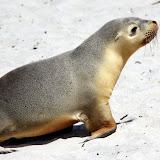 Australian Sea Lion Pup - Adelaide, Australia