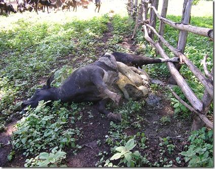Dead Cow 4, April 2006