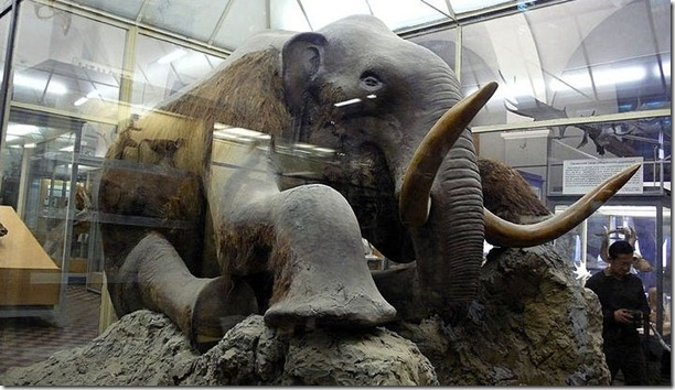 Beresovka mammoth, in The Museum of Zoology, St. Petersburg