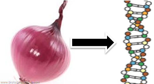 extraction dna onions 1 Lesson plan edwin klibaner extraction of dna from white onion the procedures involved in biotechnology implementation are predicated on the isolation of dna from a tissue sample.