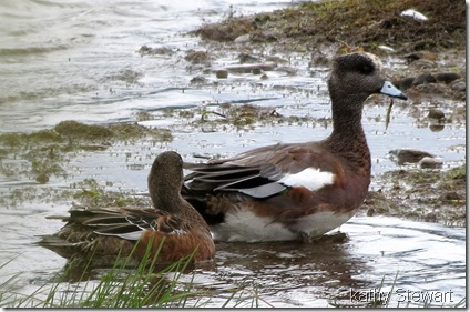 Pair of Wigeons