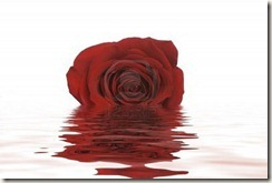 765679-a-single-red-rose-lays-in-a-shallow-water-the-reflection-is-seen-in-the-ripples-of-the-water