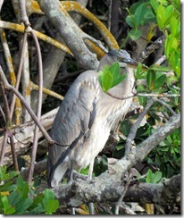 Blue Heron in the mangroves