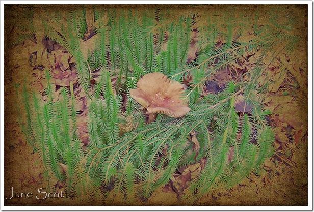 Brown_Mushroom_Cinnamon