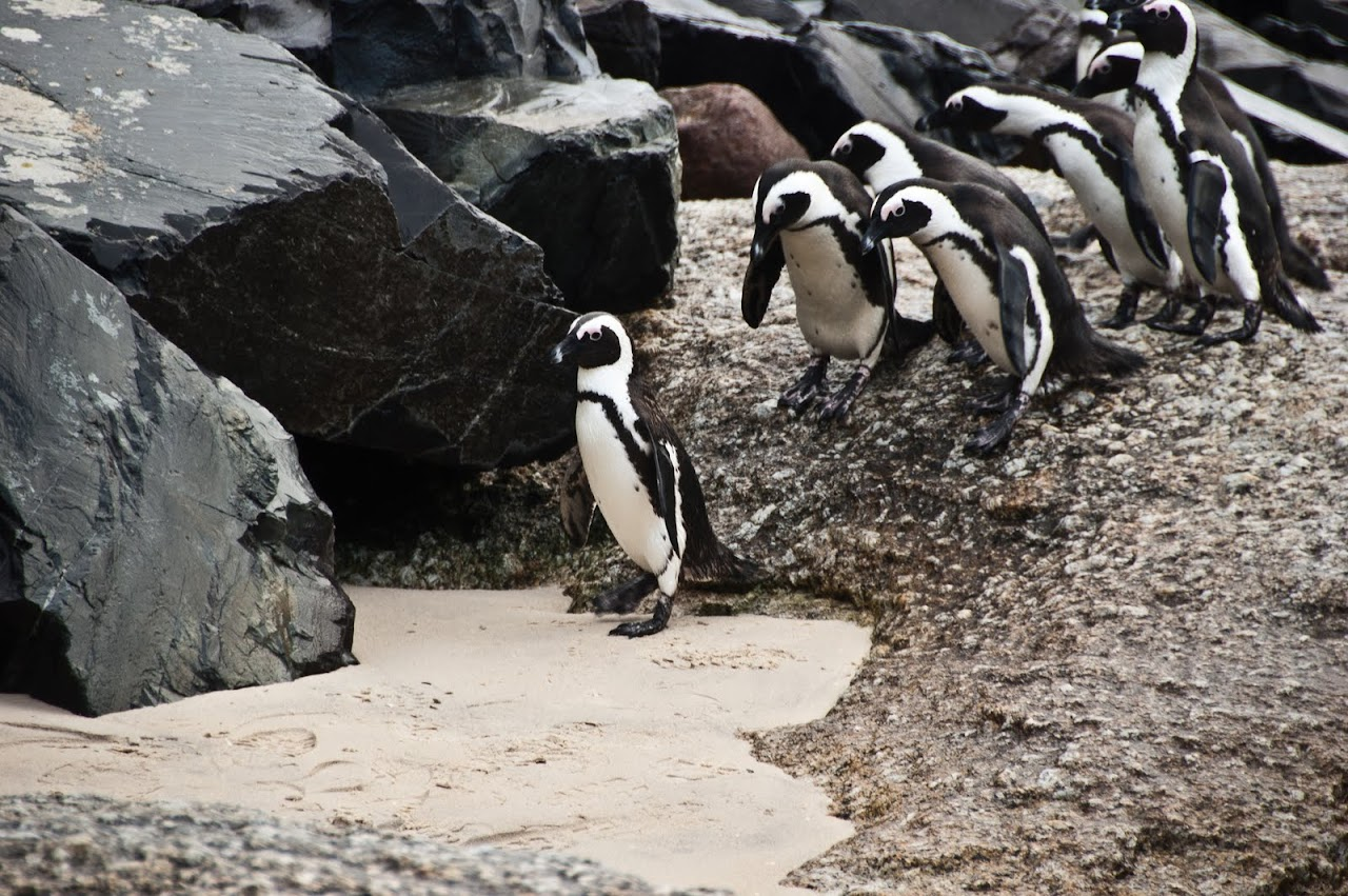 Walking penguins at Boulders Beach