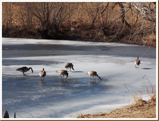 01-11-2014 Geese walking on frozen pond (10)