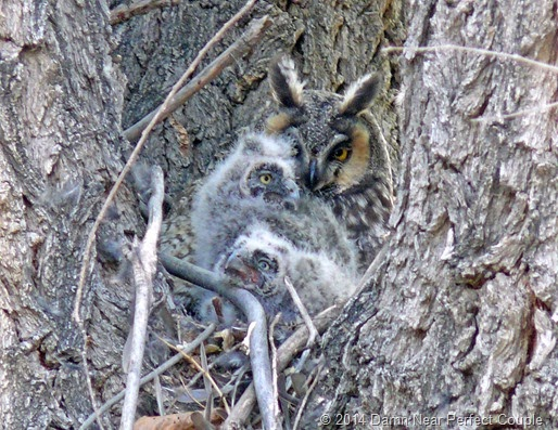 Long-eared Owl with chicks