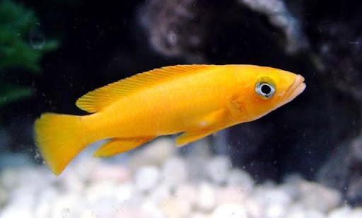 ikan  leleupi