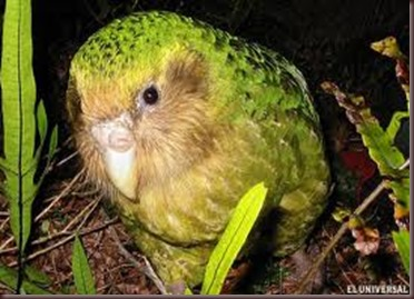 Amazing Pictures of Animals photo Nature exotic funny incredibel Zoo Kakapo birds Aves. Alex (2)
