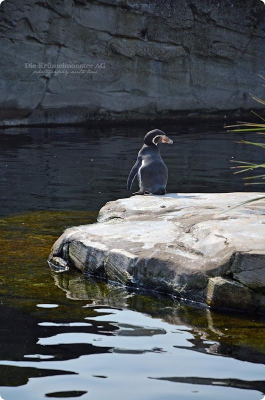 Wremen 29.07.14 Zoo am Meer Bremerhaven 16 Humboldtpinguine