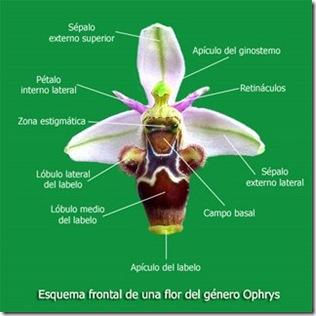 Esquema-Ophrysfrontal_0