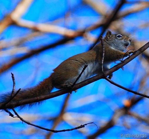 2. Red Squirrel-kab