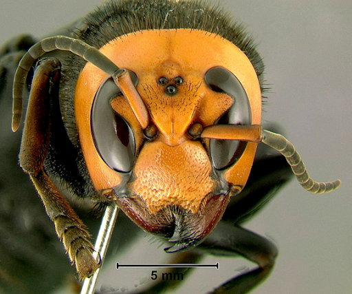 Giant Deadly Hornets Kill Dozens In China; Venom Dissolves Flesh ...