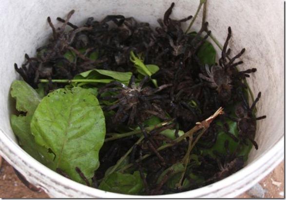 spider-food-cambodia-5