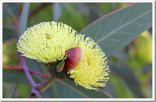 Eucalyptus-preissiana_11