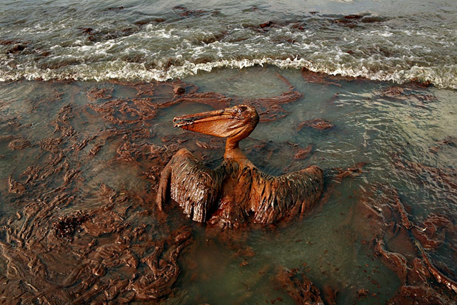 A heavily oiled pelican flounders on the beach at East Grand Terre Island in Barataria Bay, Louisiana, on 4 June 2010. Photo: Carolyn Cole / Los Angeles Times