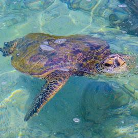Sea Turtle 01 by Karen Martin - Animals Amphibians ( pacific, sea, ocean, turtle, coast, hawaii )