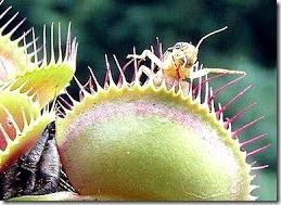 venus tanaman pemakan serangga