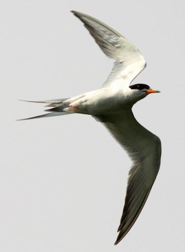 7-26-09, Minor Clark Fish Hatchery, migrating Forster's Tern over fish breeding pond, 10:51 a.m.