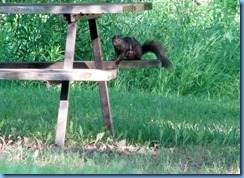4914 Laurel Creek Conservation Area - evening walk - squirrel on picnic table