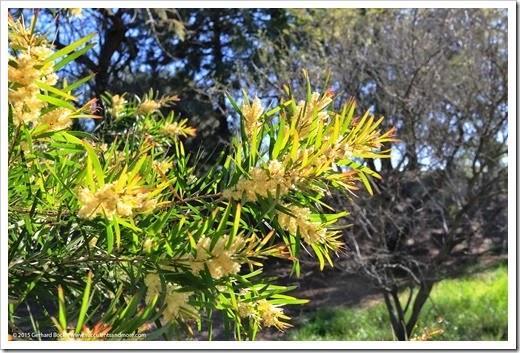 150307_UCDA_024_Acacia-iteaphylla