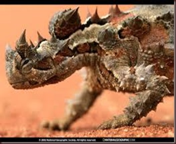 Amazing Pictures of Animals, photo, Nature, exotic, funny, incredibel Zoo, Horned lizard, Phrynosoma, Reptilia, Alex (7)