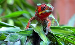 Amazing Pictures of Animals, photo, Nature, Exotic, Funny, Incredibel, Zoo, Panther chameleon, Furcifer pardalis, Reptilia, Alex (8)