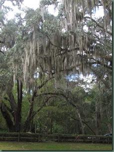 Wekiva springs State Park  live oak