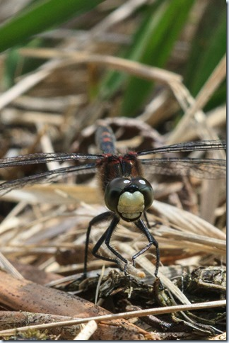 White-faced_Darter-3