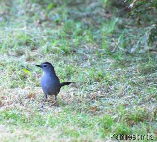 2.Catbird Maine-kab