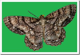 moth9