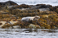 Luca_vanDuren_Dozing seals on Mull.JPG