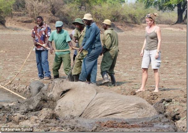 Resgate dramático de um elefante bebê e sua mãe (3)