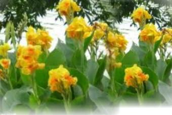 黃花蓮蕉1
