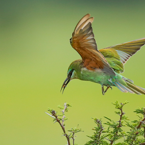 Blue Cheek Bee-eater by Rian Van Schalkwyk - Animals Birds ( okavango, flight, wings, blue cheek bee-eater, bee-eater,  )