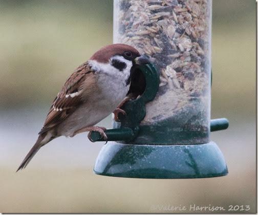 2 Tree-sparrow