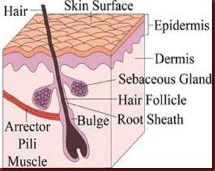 hair inside of skin images