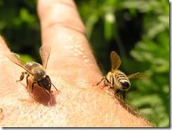 včely na květu a matečniky 134