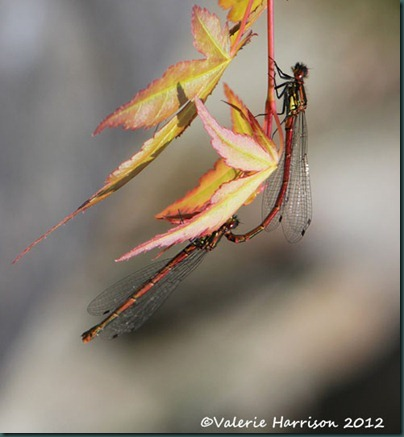 large-red-damselflies