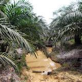 写真7 : Kpg. Pisang に住むブギスのアブラヤシ畑