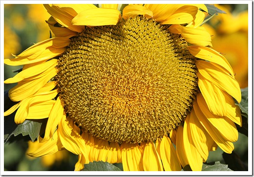 110707_sunflowers_davis_10