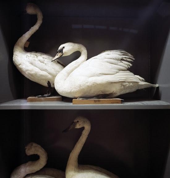 Swans, Booths Bird Museum