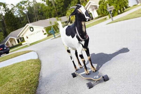 3- Maior distância percorrida por uma cabra em um skate
