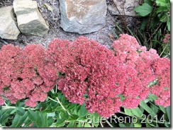 Sue Reno, Sedum Autumn Joy