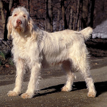We heard that the Spinone Italiano is a gun-breed dog. What do you suppose that means? Photo By Mary Bloom