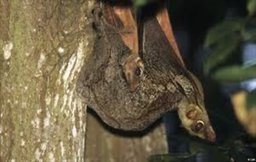Amazing Pictures of Animals, photo, Nature, exotic, funny, incredibel, Zoo, Sunda flying lemur (Galeopterus variegatus), ALex (1)