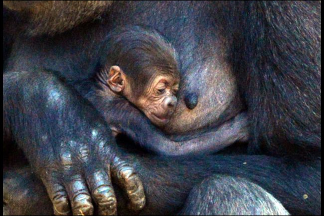 Mother Mbeli takes care of her newly born Western Lowland Gorilla baby boy in an enclosure at Sydney's Taronga Zoo on 31 October 2014. Scientists say Ebola has joined poaching and deforestation as a 'major threat to African apes'. It is estimated that one-third of the world's gorillas and chimpanzees have been lost to the virus. Photo: AFP / Getty Images