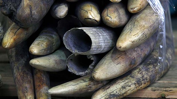 Seized: Ivory tusks are displayed after being confiscated in Hong Kong. Photo: AP