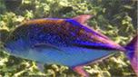 Indo-Pacifique caranque bleue
